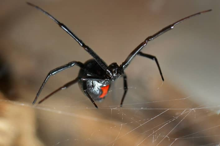 Black Widow Spider On Her Web