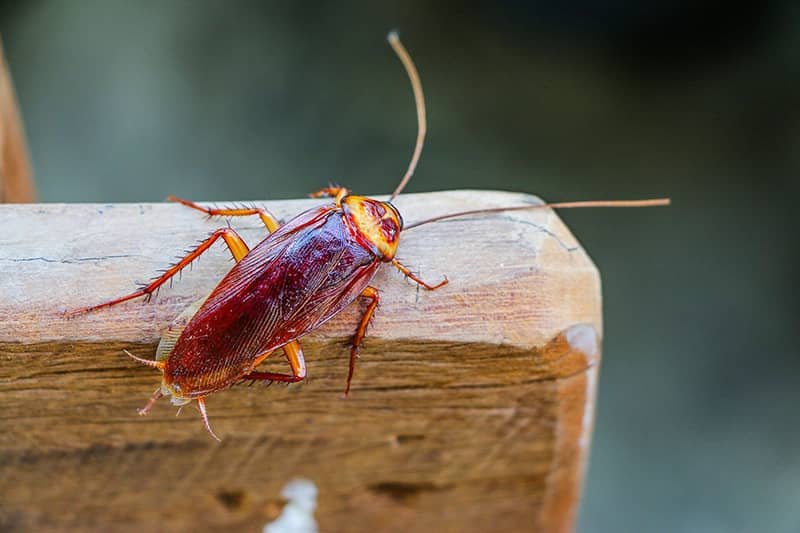 American Cockroach sitting on an arm of a chair
