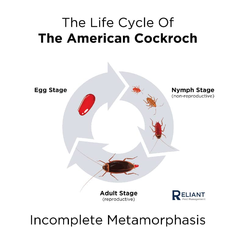 Diagram of the Life Cycle of an American Cockroach