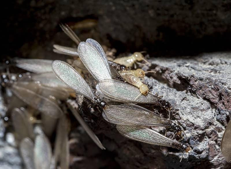 Eastern Subterranean Termite Swarmers and workers