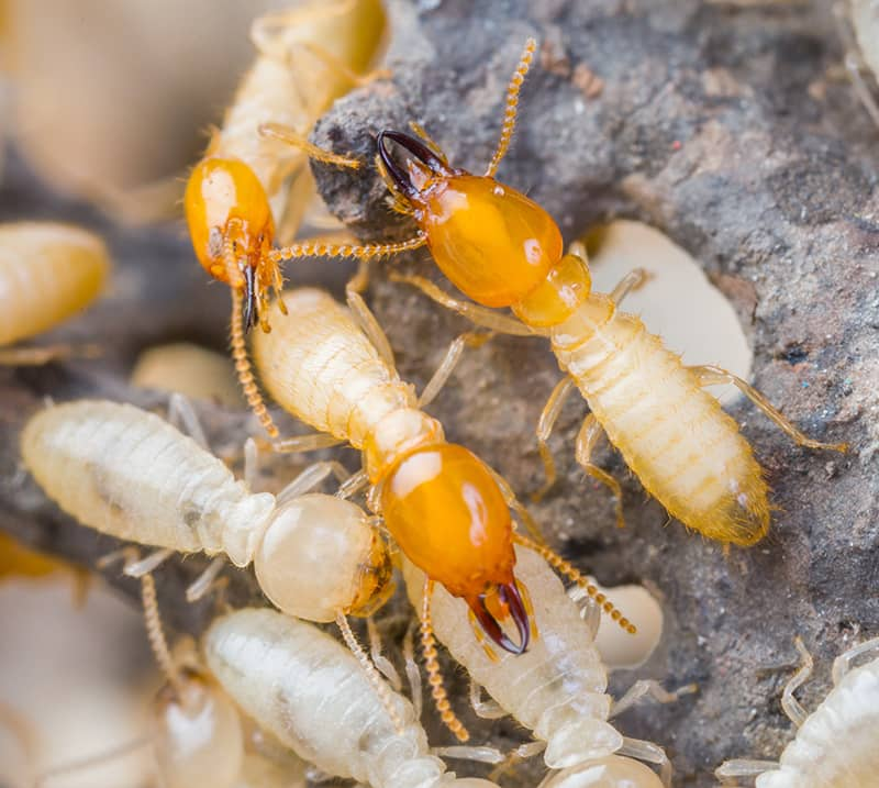 Formosan Subterranean Termite workers and soldiers