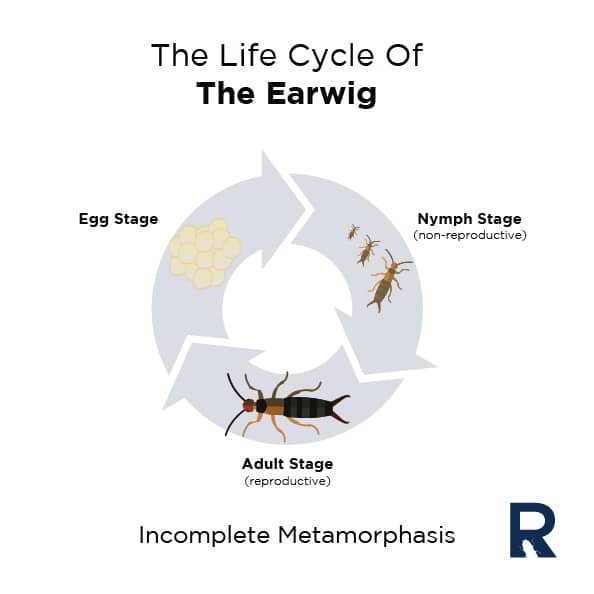 Illustration of the Life Cycle of the Earwig